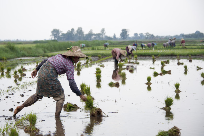 Посадка риса на озере Инле, Мьянма