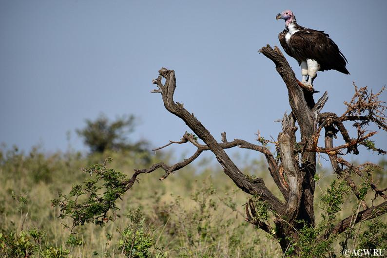 Масаи-Мара, Кения, Африка