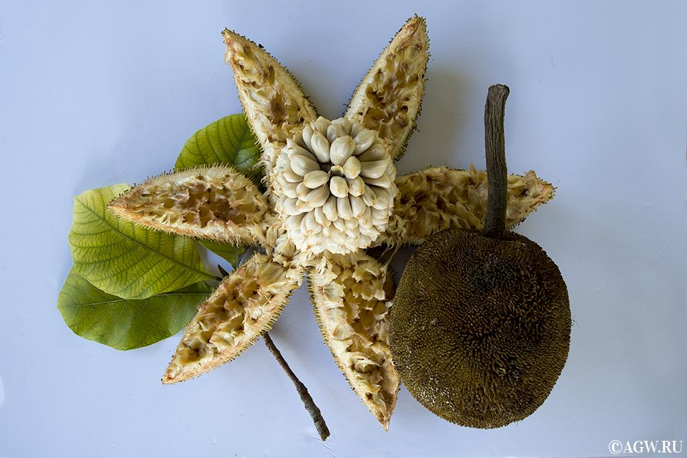Тропический фрукт Маранг
