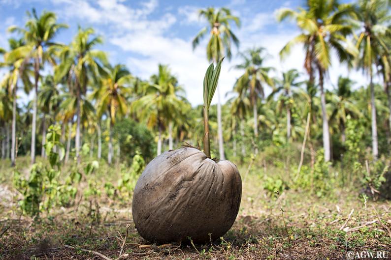 Проросток кокоса, буа по-филиппински.