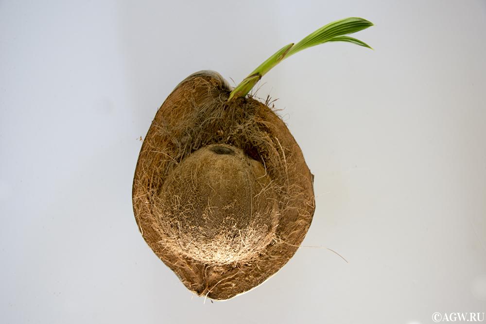 Наполовину очищенный кокос.