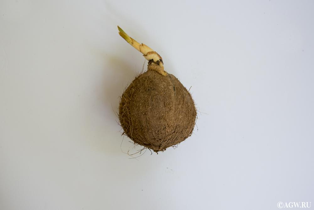 Полностью очищенный буа. Когда-то я думал, что кокосы такими и падают с пальм.